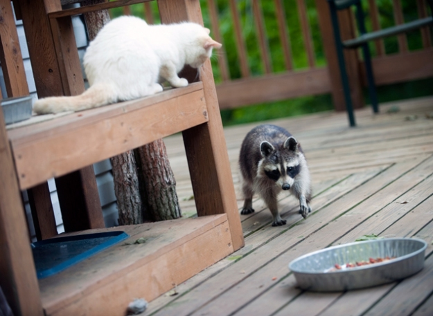 raccoon-iStock_000009470912_Large